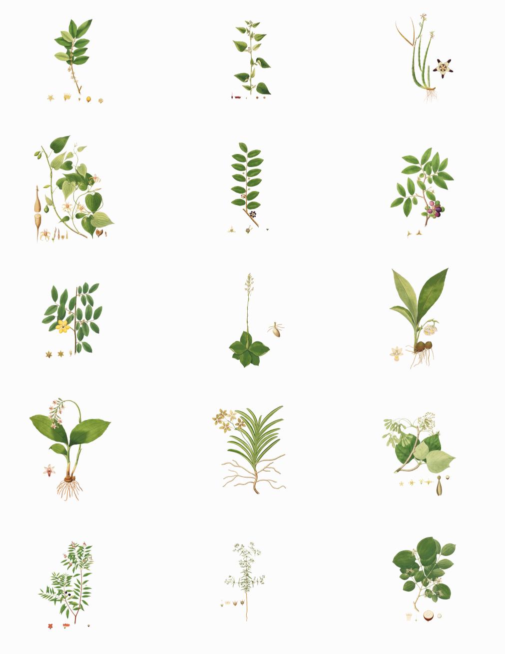 30张草药手绘植物png素材