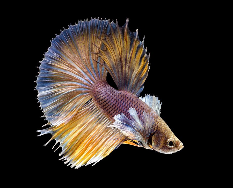 华丽金鱼高清图片 照片-第4张