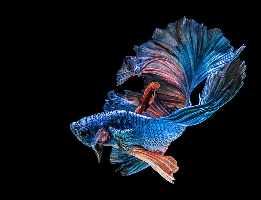 华丽金鱼高清图片 照片-第5张