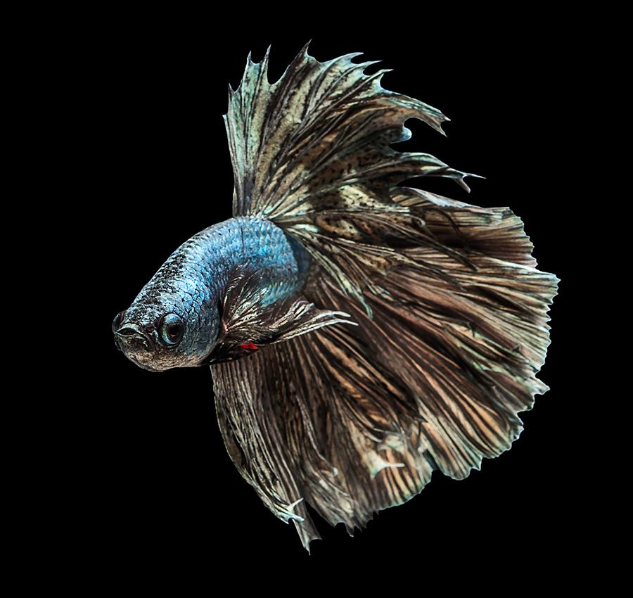 华丽金鱼高清图片 照片-第7张