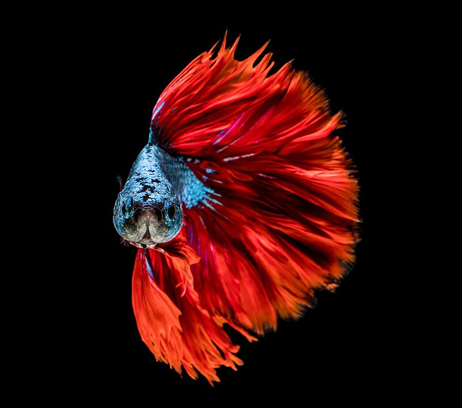 华丽金鱼高清图片 照片-第8张