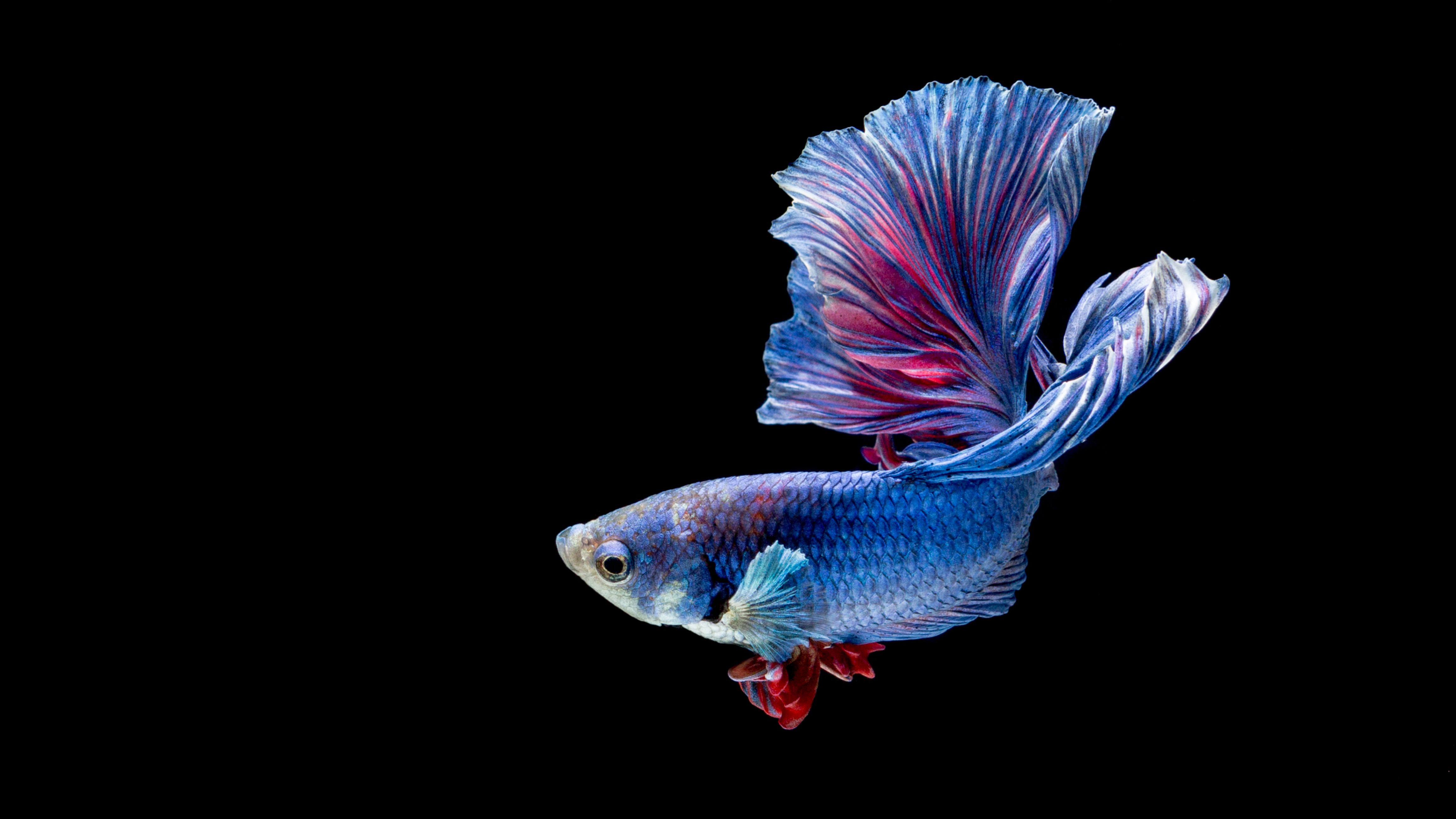 华丽金鱼高清图片 照片-第13张