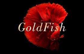 华丽金鱼高清图片